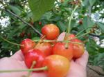luuk cherry