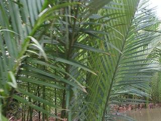 椰子とタイの密接な関係。